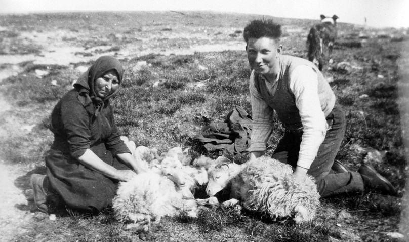 Plucking fleeces in Shetland