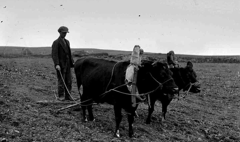 Ploughing with animals in Orkney