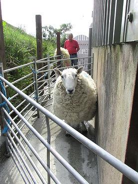 Shearing time.jpg