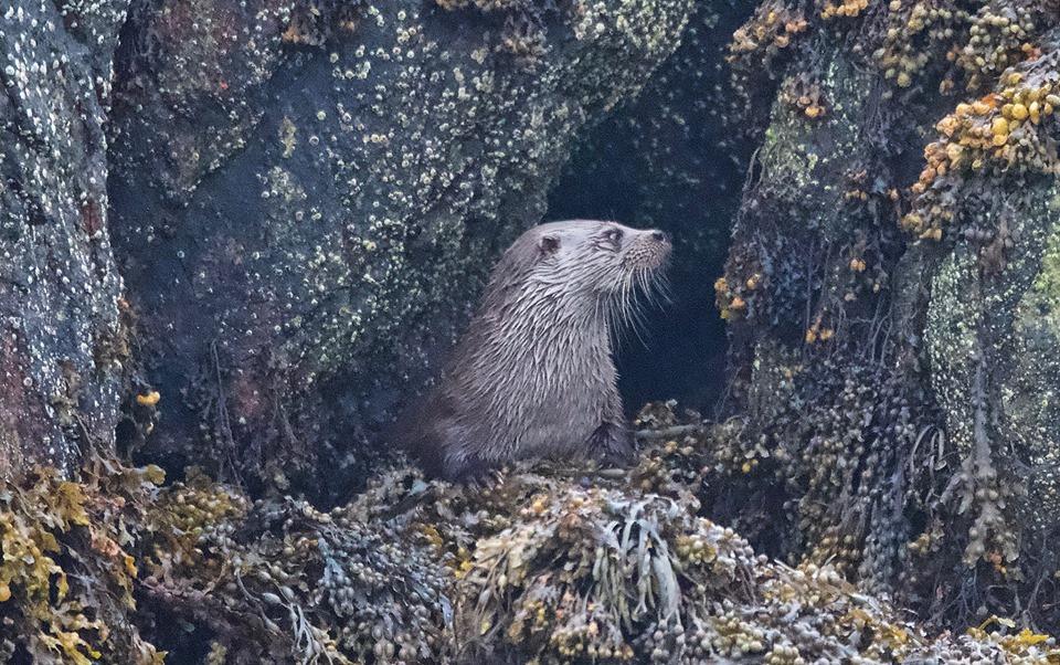 Marvig Otter.jpg
