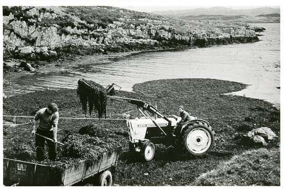 Gathering seaweed, 1960s