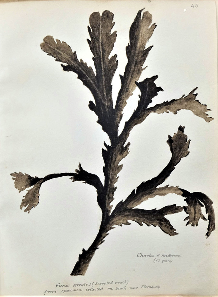 Seaweed drawing, from 1904 Exhibition Album
