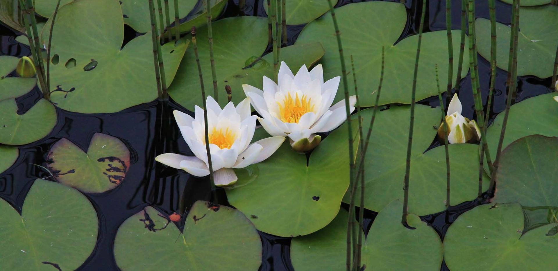NY Water lilies.jpg