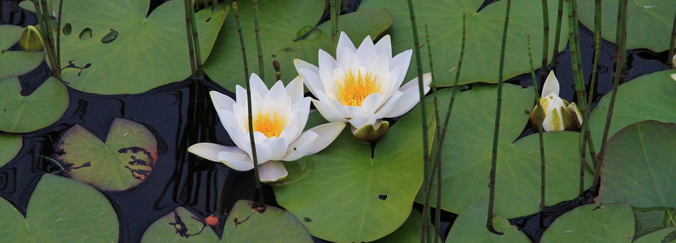 NY Water lilies.jpg