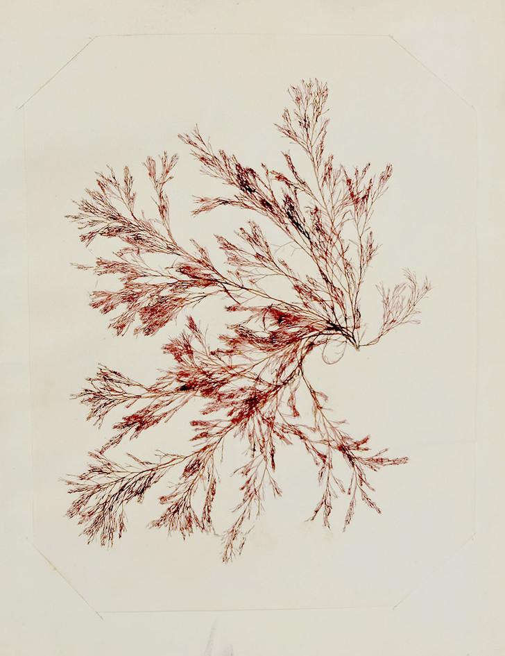 Seaweed specimen, from 1904 Exhibition Album