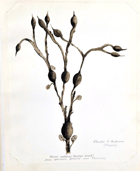 Drawing of seaweed by Nicolson Institute pupil Charles P. Anderson, from 1904 Exhibition Album
