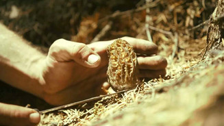 Morel Mushroom Hunting: Dream Job or Harsh Reality? [VIDEO]