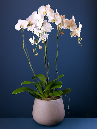 Two Large White Phalaenopsis Orchids