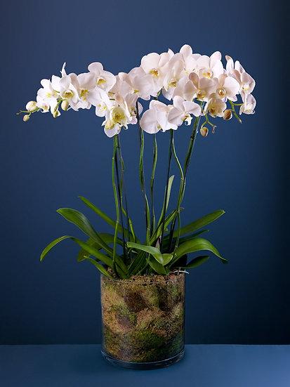 Three Large White Phalaenopsis Orchids