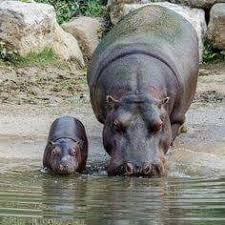 Watching hippos in a pool