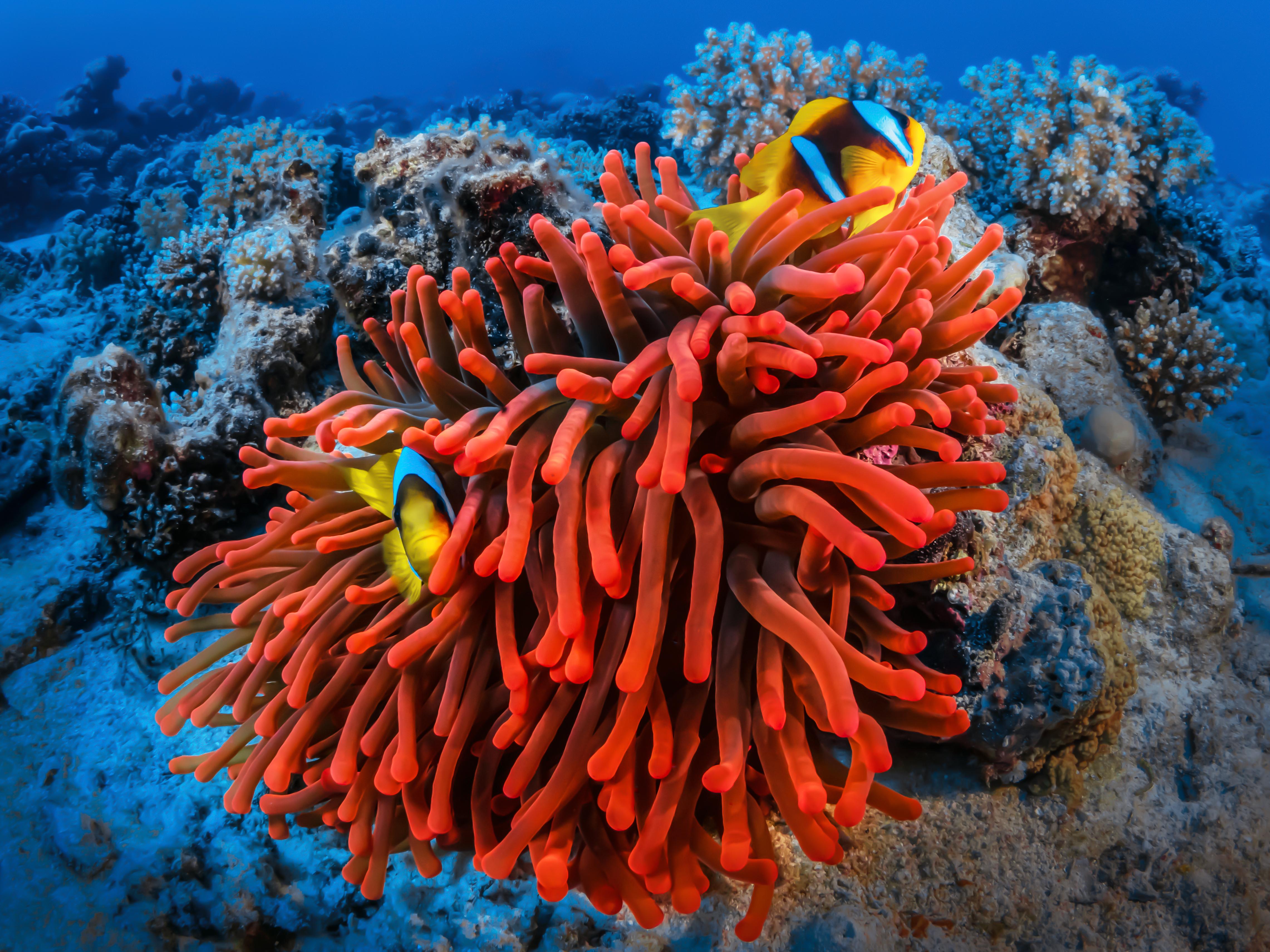 Anémone rouge et poissons clowns