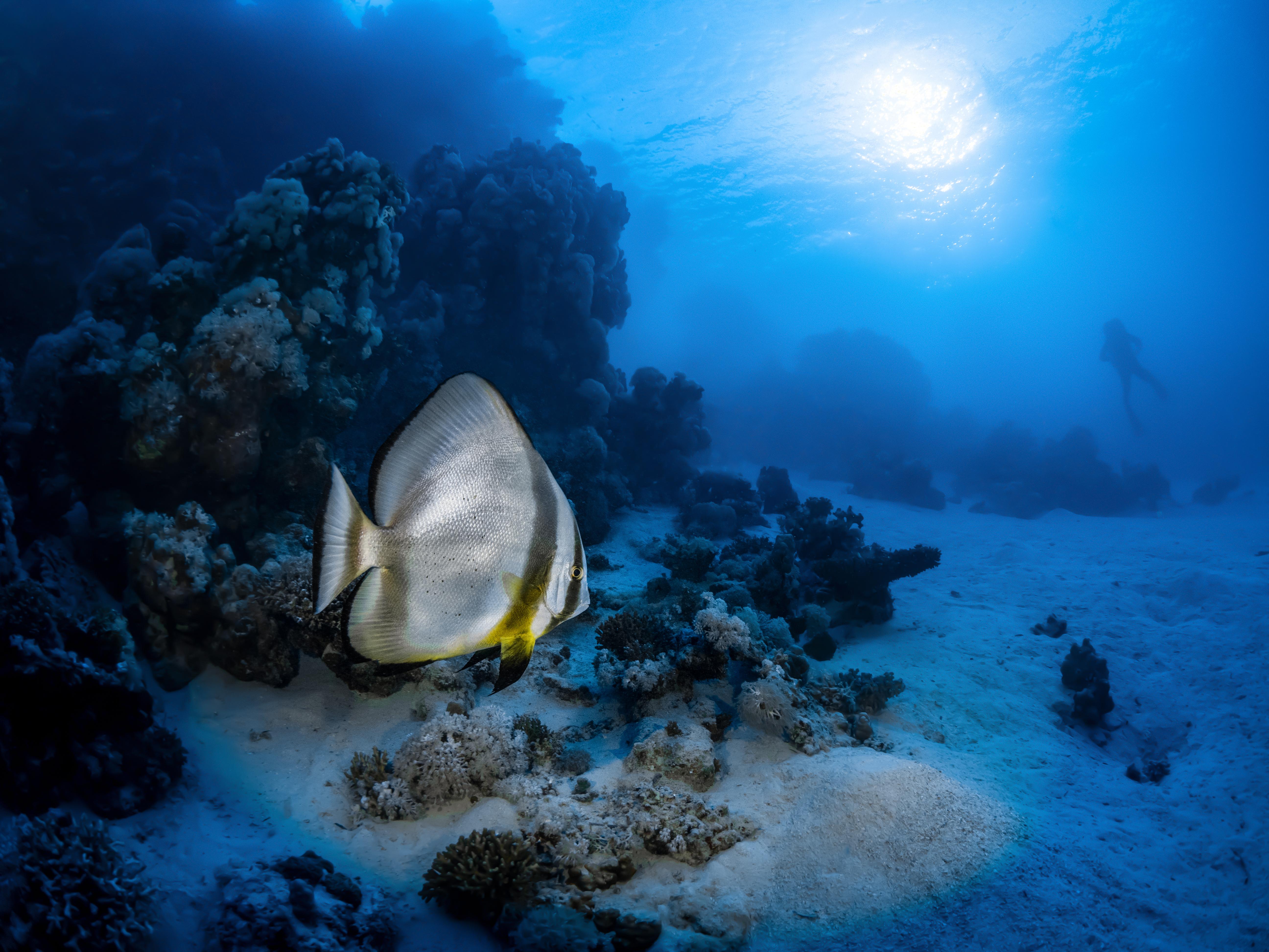 Platax et récif de Mer rouge