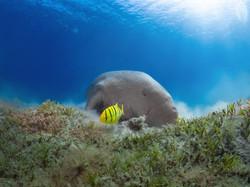 Dugong Mer Rouge