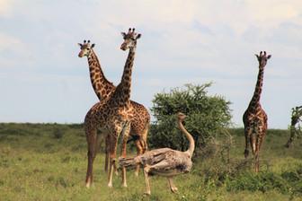 Africa 2_Giraffe 2.JPG