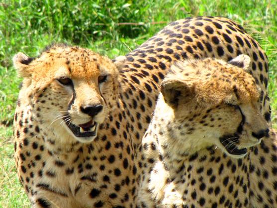 Africa 1_Cheetahs 1.jpg