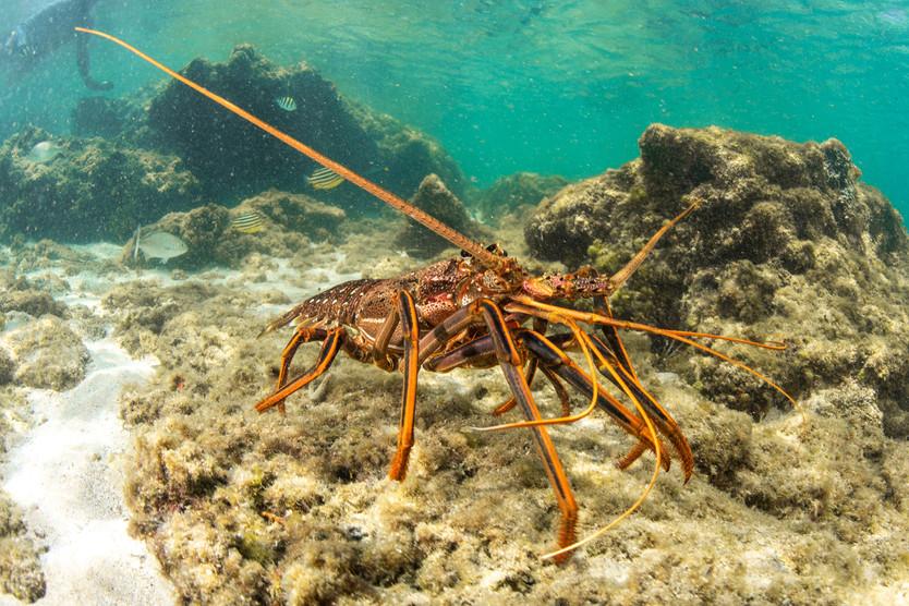 Western Red Crayfish
