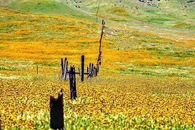 yellow field with fence.jpg