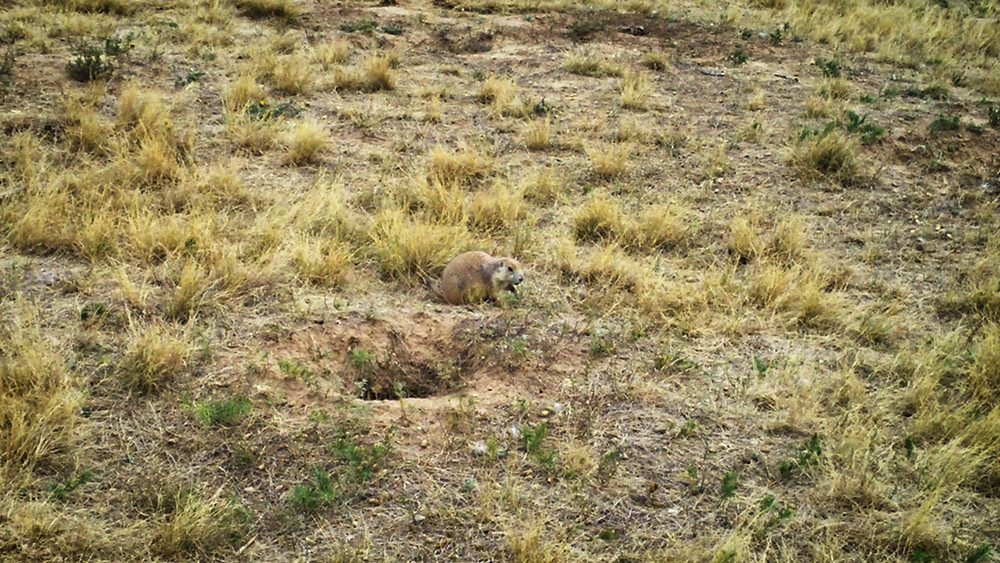 Prairie dog, Devils Tower National Monument, Wyoming