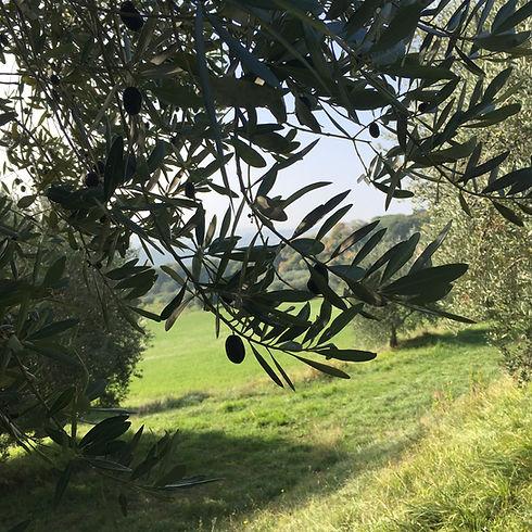 la Villa Imperiale produce olio extravergine di oliva di qualità superiore