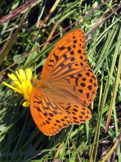 Jungfruskar-Butterfly-LR