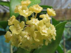 H pottsii yellow form