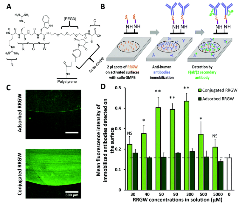 Immobilization of mouse anti-human CD105 on conjugated or adsorbed RRGW spots on polystyrene substrates.