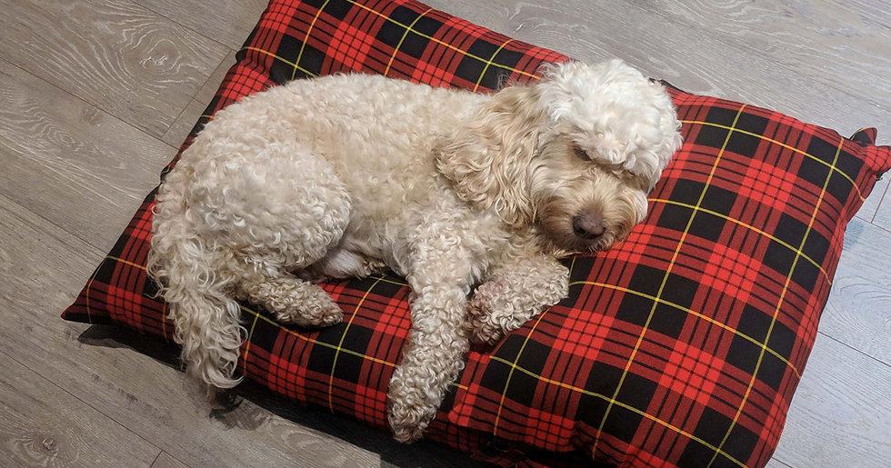 cockapoo asleep luxury red tartan dog be