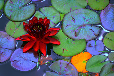 Water lily in the Rose Garden