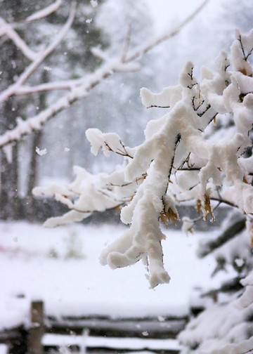 Snow-laden Branches