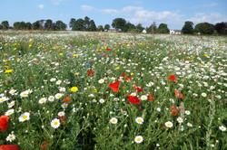 Wildflower Meadow  14 Aug 14 003.jpg