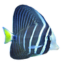 sailfin-tang_edited.png