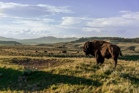 Buffalo on the fields of Yellowstone