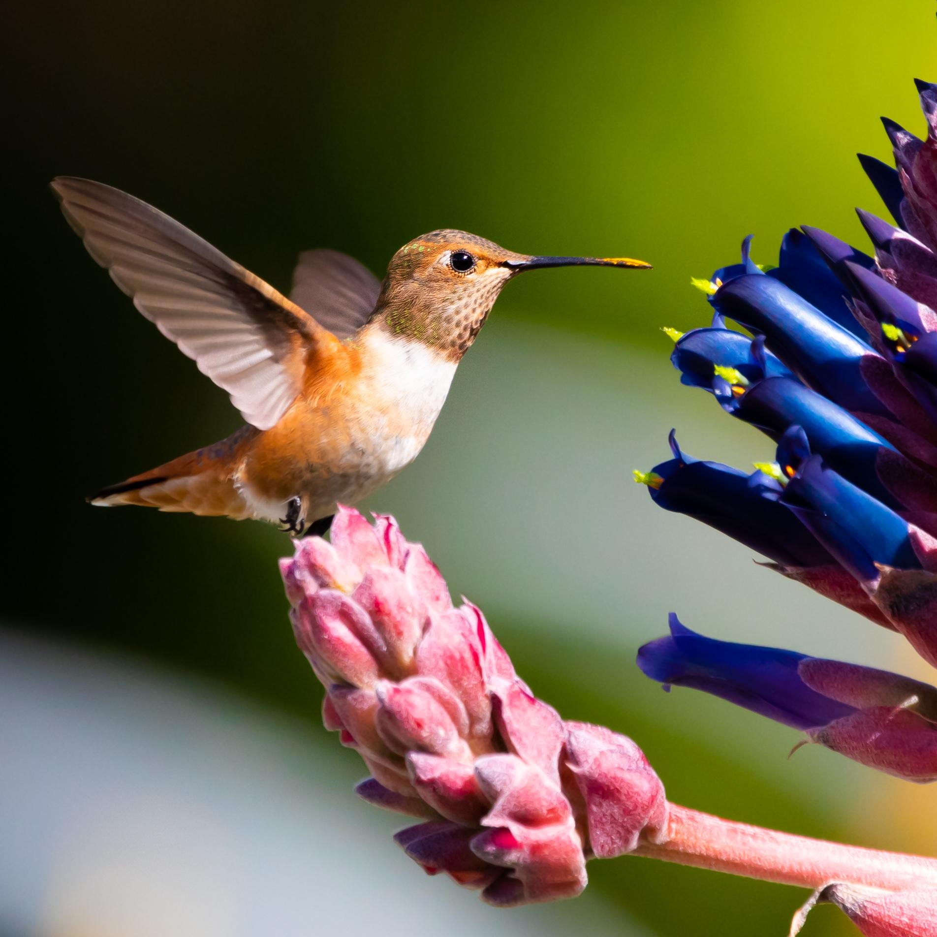 Hummingbird, Huntington Library, CA