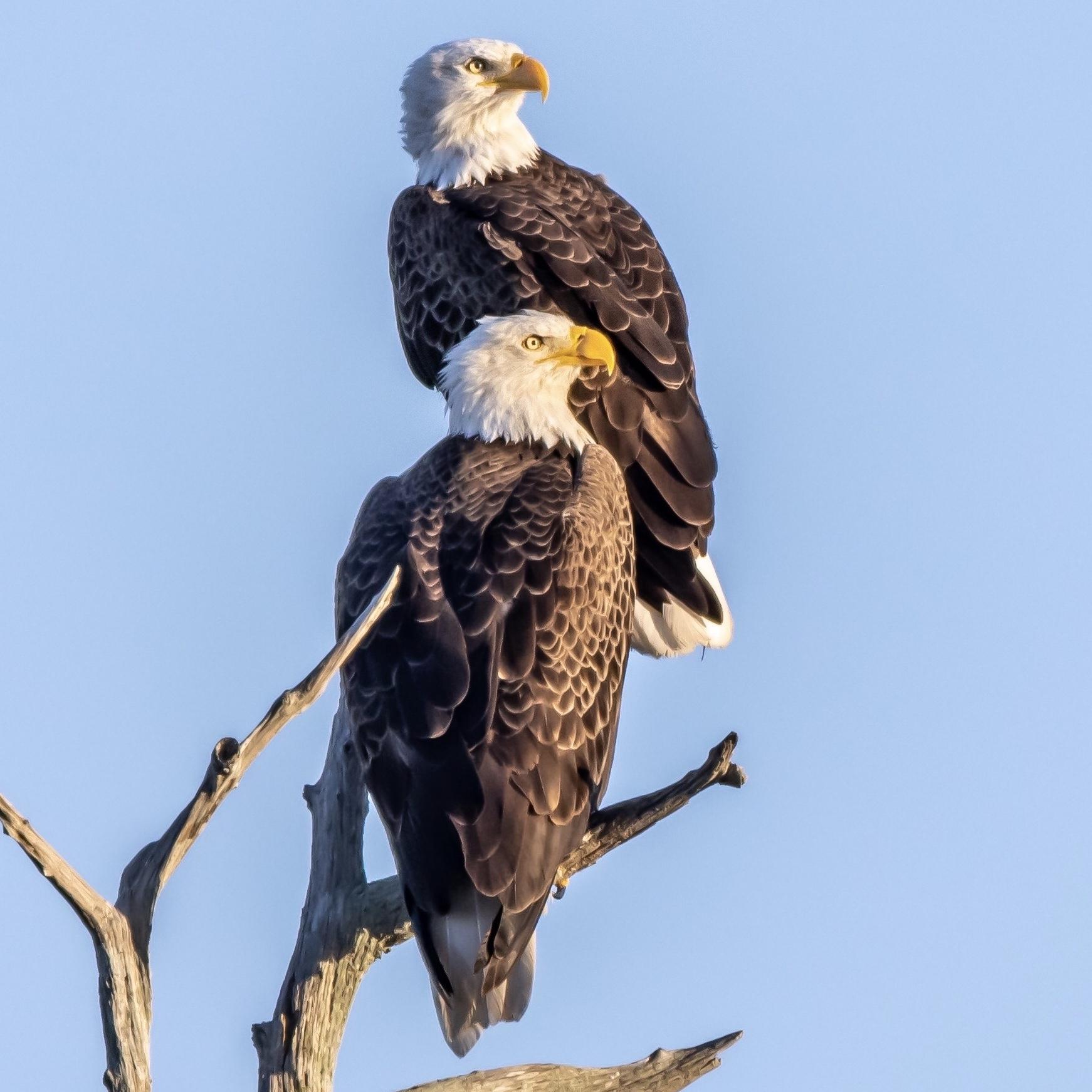 bald eagles at Orlando