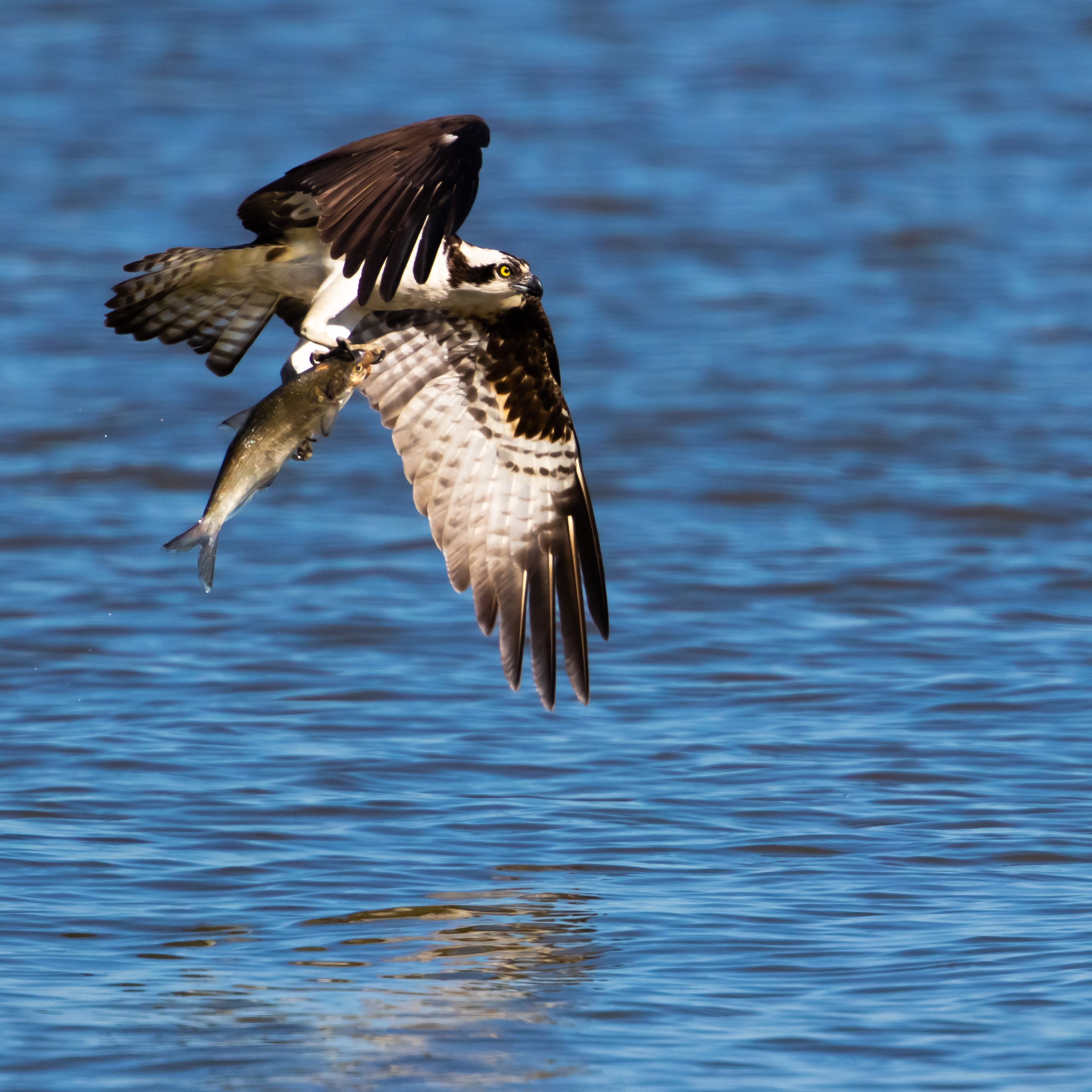 osprey fishing at Virginia