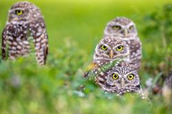 burrow owls at Miami