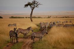 Masai-Mara-Zebras-Kenya-1