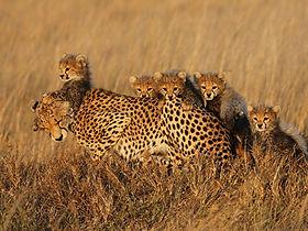 Serengeti-Cheetah-Project_Asti-and-her-f
