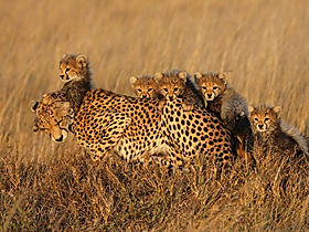 Serengeti-Cheetah-Project_Asti-and-her-f