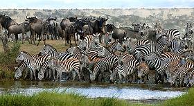 7-slide-africa-migration-zebra-waterhole