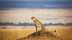 cheetah-in-the-masai-mara-1600x900