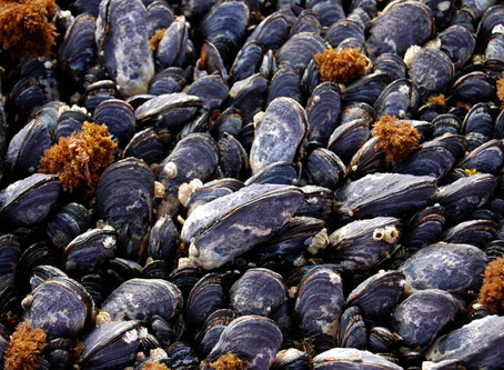 New paper out: Shells of the California mussel have become thinner over the past 2,000 years