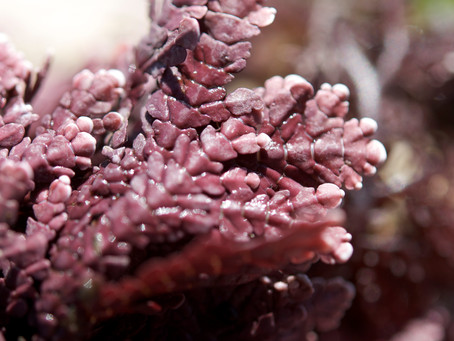 New paper out: species identifications of coralline red algae