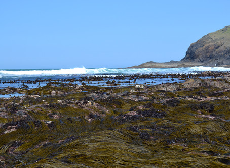 New paper out: Seaweed helps trap blue carbon