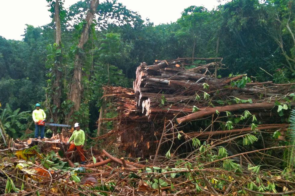 Huge Banyan Removal