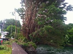 Big Island Banyan Removal.jpg