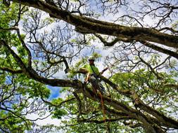Monkeypod Pruning