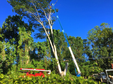 Tall Albizia Removal with Crane.jpg