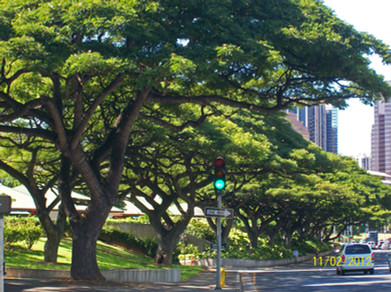 Beretania Monkeypod pruning.jpg