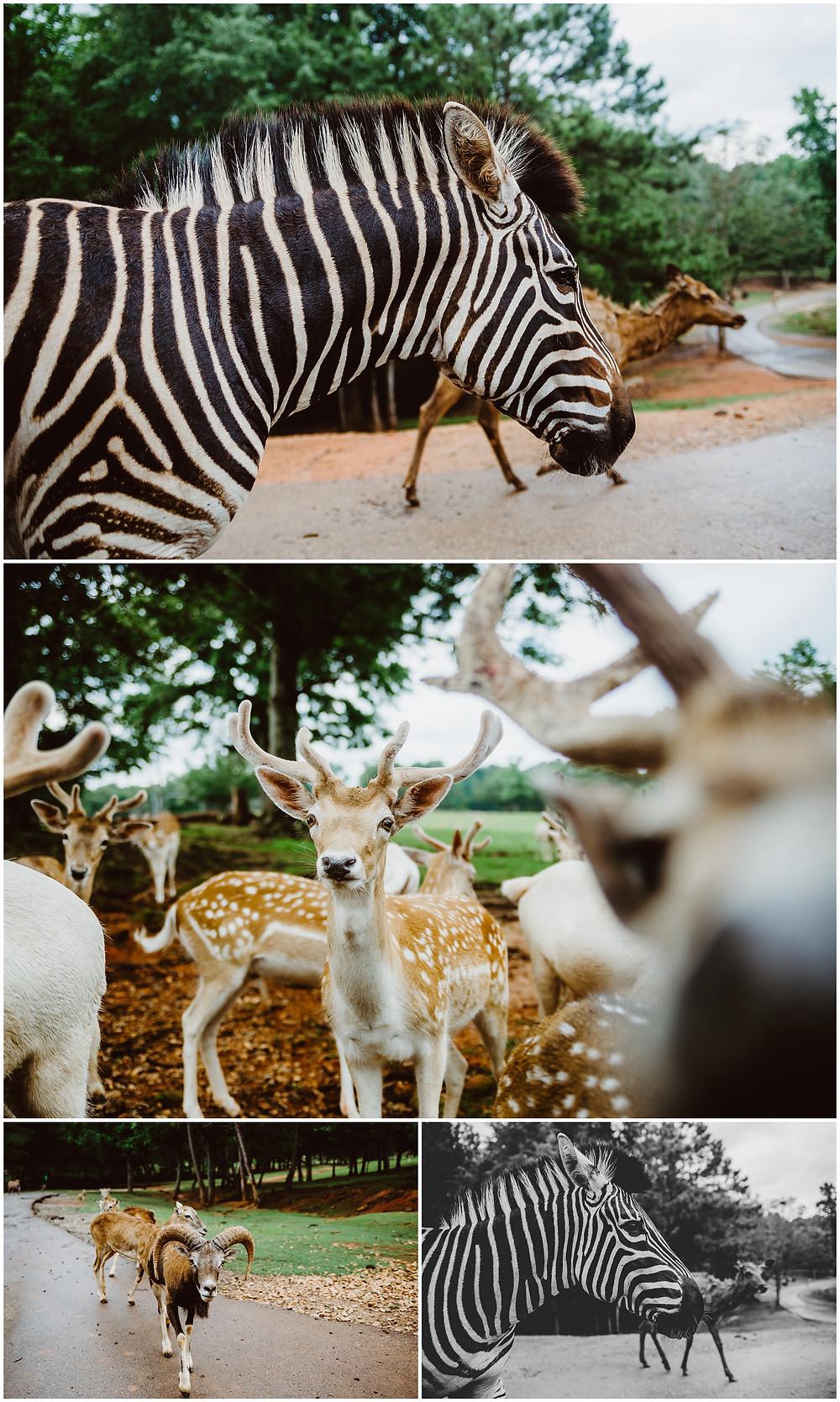 Wild Animal Safari, Georgia, Travel Photography, Zebra
